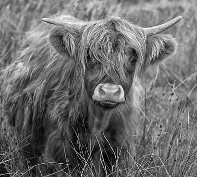 Mammals Royalty-Free and Rights-Managed Images - Highland Cow by Martin Newman