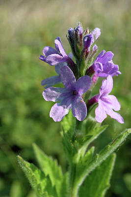 Photograph - Hoary Vervain by Scott Kingery