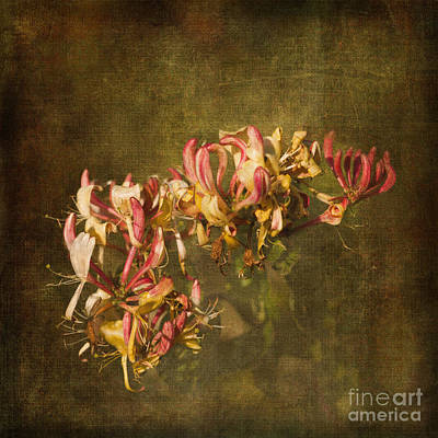 Photograph - Honeysuckle by Liz  Alderdice