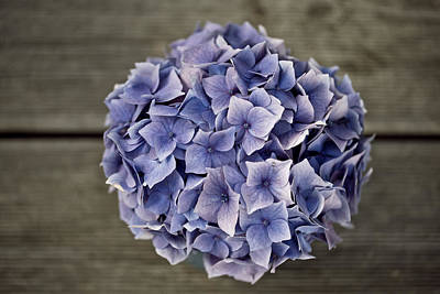 Royalty-Free and Rights-Managed Images - Hortensia Flowers by Nailia Schwarz