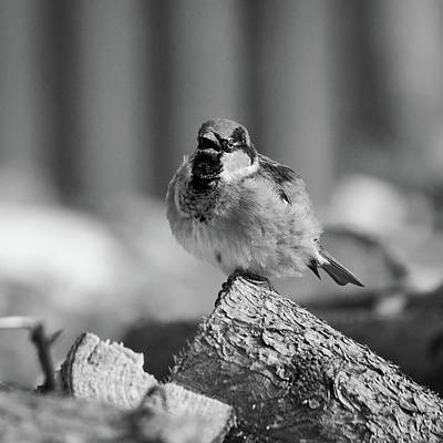 Photograph - House Sparrow by Jouko Lehto