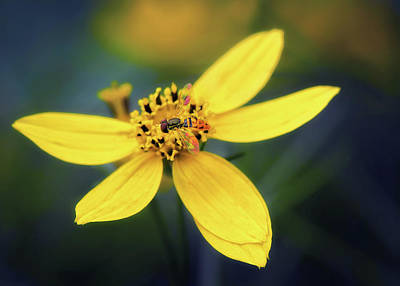 Photograph - Coreopsis Flower With Hoverfly by Carolyn Derstine