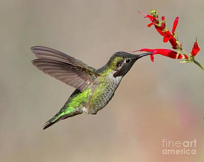 Digital Art - Humming Bird by Irina Hays