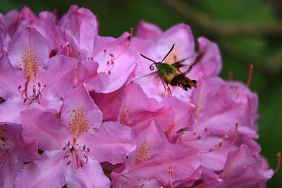 Photograph - Hummingbird Moth by Rick Morgan