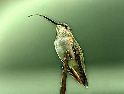 Photograph - Hummingbird by Sandy Keeton