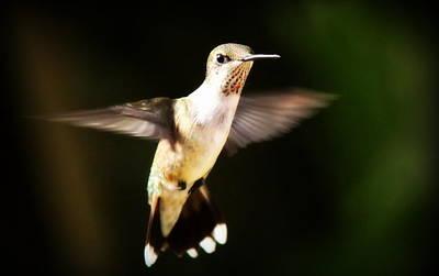 Animal Watercolors Juan Bosco - Hummingbird by Travis Truelove
