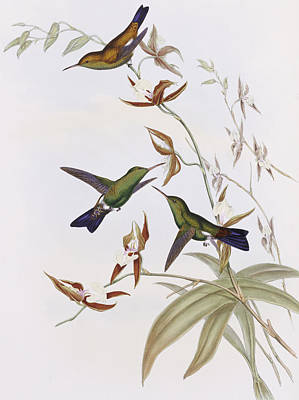Family Of Colors Painting - Hummingbirds by John Gould