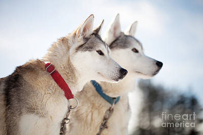 Photograph - Huskies by Kati Finell