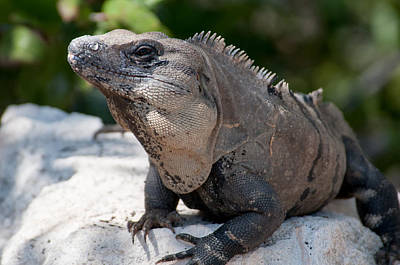 Photograph - Iguana In Cancun Hotel Zone  by Carol Ailles