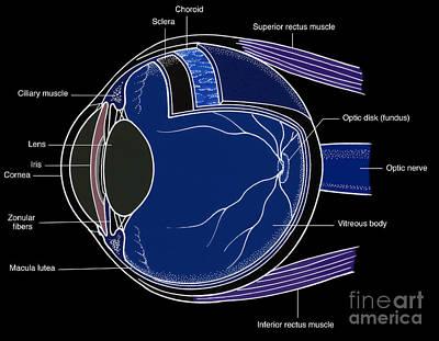 Illustration Of Eye Anatomy Art Print by Science Source
