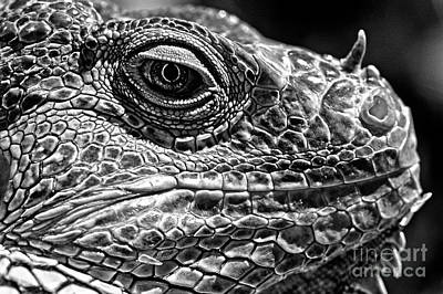 Photograph - Iquana Lizard by Jim Corwin