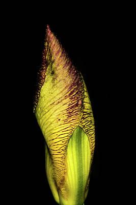 Photograph - Iris by Jay Stockhaus