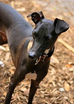 Photograph - Italian Greyhound by Angela Rath