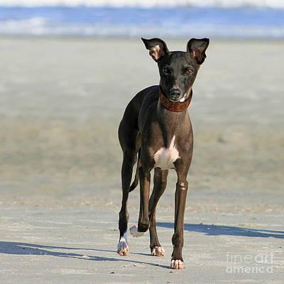 Photograph - Italian Greyhound On The Beach by Angela Rath