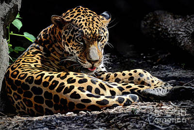 Photograph - Jaguar by Savannah Gibbs