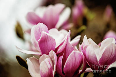 Japanese Magnolia Art Print by Scott Pellegrin