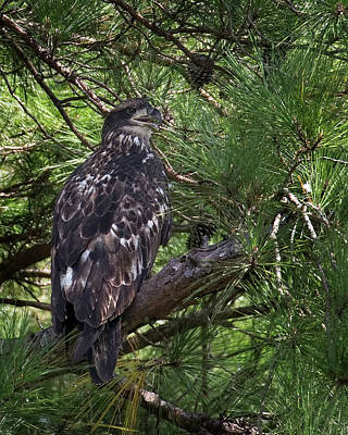 Photograph - Juvenile Bald Eagle On Chesdin by Jemmy Archer
