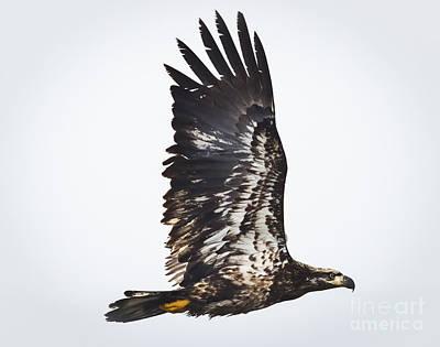 Edward Hopper - Juvenile Bald Eagle by Ricky L Jones