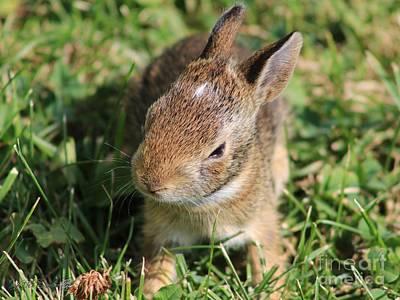 Photograph - Juvenile Cotton-tail Rabbit by J McCombie