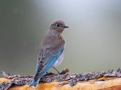 Photograph - Juvenile Mountain Bluebird by Doug Lloyd