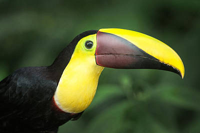 Keel-billed Toucan Ramphastos Art Print by Panoramic Images
