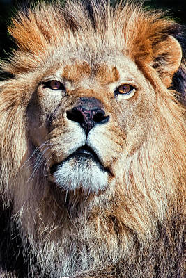 Feline Photograph - King Of Beast by Marcia Colelli