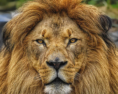 Photograph - King Of Beasts by Bill Dodsworth