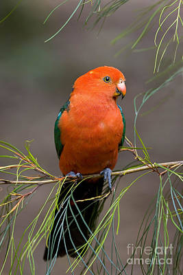 King Parrot Photograph - King Parrot by B. G. Thomson