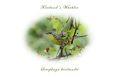 Photograph - Kirtland's Warbler by Charles Owens