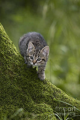 Gray Tabby Photograph - Kitten In A Mossy Tree by Jean-Louis Klein & Marie-Luce Hubert