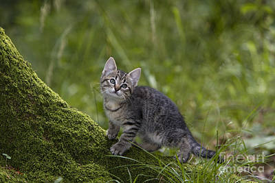 Gray Tabby Photograph - Kitten On A Mossy Tree by Jean-Louis Klein & Marie-Luce Hubert