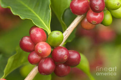 Hawaiian Flora Photograph - Kona Coffee Beans by Inga Spence