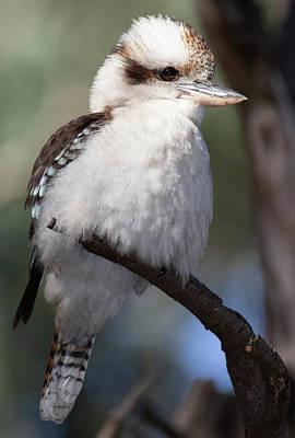 Photograph - Kookaburra by Masami IIDA