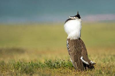 Animal Behavior Photograph - Kori Bustard Ardeotis Kori Display by Panoramic Images