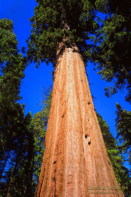 Mountain Photograph - Giant Sequoia Trees IIi by LeeAnn McLaneGoetz McLaneGoetzStudioLLCcom