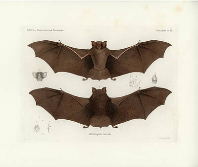 Drawing - Lander's Horseshoe Bat, Rhinolophus Landeri by C H Haas