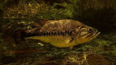 Photograph - Largemouth Bass by Joe Duket