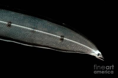 Larval Eel Art Print by Dant� Fenolio