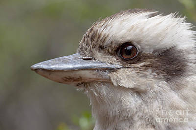 Photograph - Laughing Kookaburra by Karen Van Der Zijden