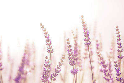 Photograph - Lavender Flower In The Garden,park,backyard,meadow Blossom In Th by Jingjits Photography