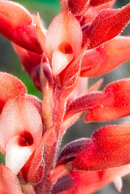 Leafless Beaked Orchid Close-up Print by Rich Leighton