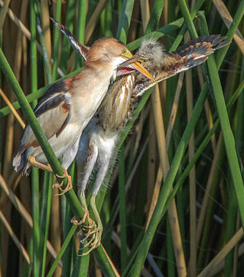 Photograph - Least Bittern Adult And Juvenile by Tam Ryan