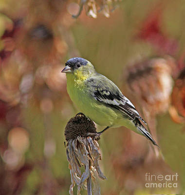 Lesser Goldfinch Photograph - Lesser Goldfinch by Gary Wing