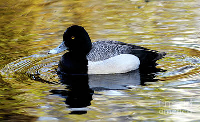 Photograph - Lesser Scaup Duck by Terry Elniski