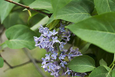 Kitchen Spices And Herbs - Lilac tree in the park by Newnow Photography By Vera Cepic