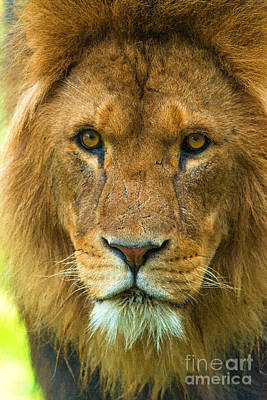 Photograph - Lion by Andrew Michael