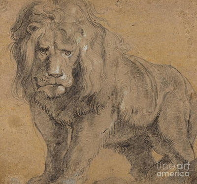 Wild Life Drawing - Lion by Peter Paul Rubens