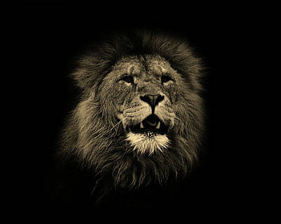 Animals Photos - Lions Roar by Martin Newman
