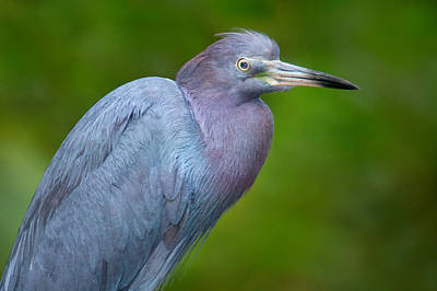 Focus On Foreground Photograph - Little Blue Heron Egretta Caerulea by Panoramic Images