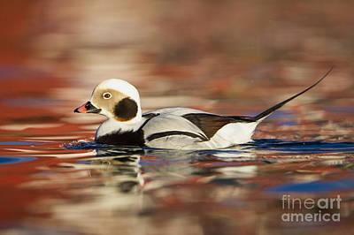 Long-tailed Duck Art Print by Jules Cox/FLPA